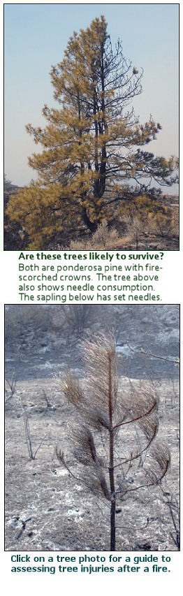 Assessing tree injuries after a wildfire